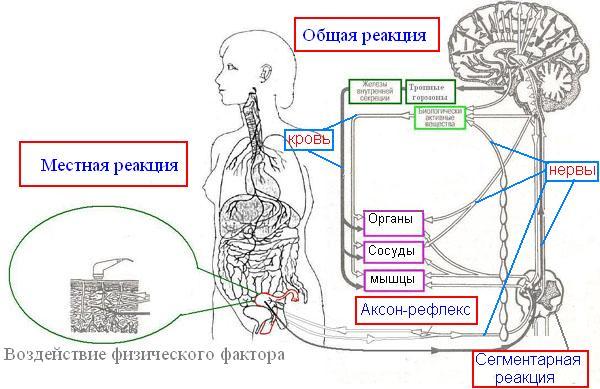 ...физических факторов носит циклический характер, базирующийся на особенностях энергетического обмена в клетке.